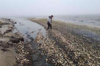 2018.06.13 Погибшая сельдь в заливе Пильтун, Сахалин(фото)